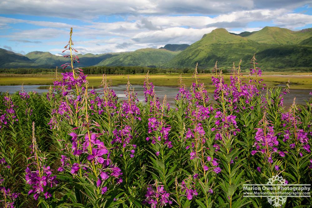Field of Fireweed in Kodiak, Alaska
