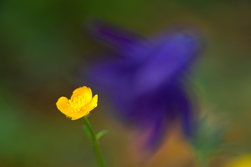 Buttercup with in the background a columbine flower