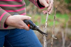 Pruning a currant (?) bush