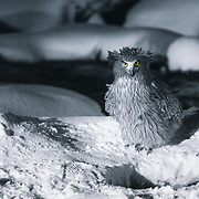 Blakiston's Fish Owl (Bubo blackistoni) at night. Photographed in Rausu, Hokkaido, Japan. This owl is accustomed to people and is fed daily.