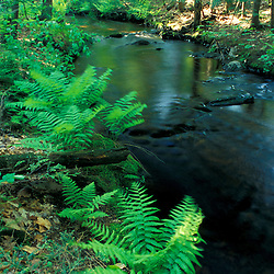 Ferns line a small stream in a forest on the Meserve Farm in Scarborough, Maine.  Spring.  Southern Maine.