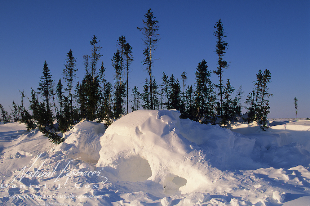 A polar bear den surrounded by Black Spruce trees during spring in Wapusk National Park. Canada