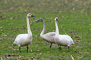 Tundra Swan families stay together throughout the winter.