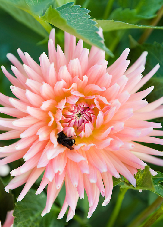 A bee in the petals of a Dahlia flower.