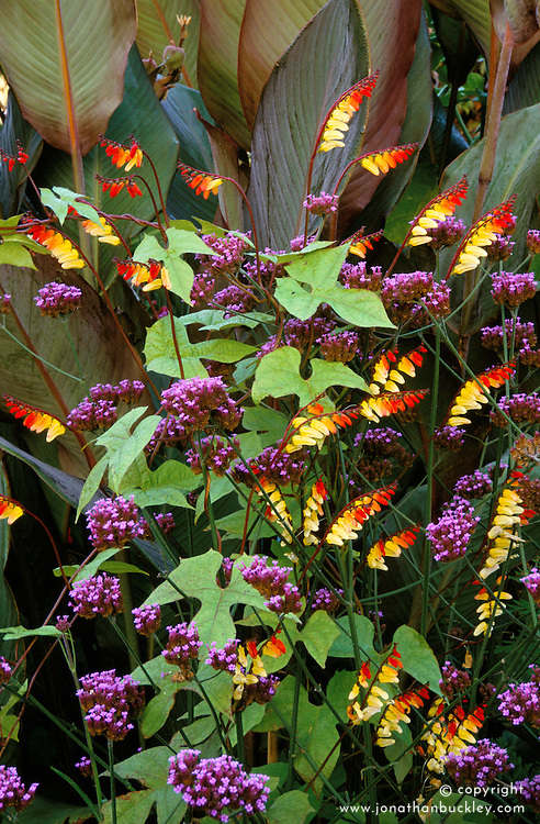 Ipomoea lobata syn. Mina lobata with Verbena bonariensis and Canna foliage in the exotic garden at Great Dixter