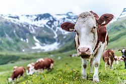 THEMENBILD - Kühe auf der Weide. Die bewirtschaftete Alm, wo rund 800 Schafe und 55 Milchkühe im Sommer sind, besteht seit dem Jahre 1779 und wird von der Familie Aberger Dick geführt, Sie liegt unmittelbar bei den Kapruner Hochgebirgsstauseen, aufgenommen am 15. Juni 2017, Fürthermoar Alm, Kaprun, Österreich // Cows on a pasture. The Fuerthermoar Alm, where around 800 sheep and 55 dairy cows are in summer and is directly next to the Kaprun Hochgebirgsausauseen. The Mountain Hut exists since 1779 and is owned by the family Aberger Dick, taken on 2017/06/15, Kaprun, Austria. EXPA Pictures © 2017, PhotoCredit: EXPA/ JFK