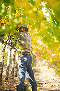 early morning Autumn harvest in Napa Valley Vineyard.