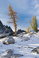 Larch trees in Autumn, Enchantment Lakes Wilderness Area, Washington Cascades, USA.