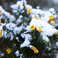 Snow and Ice, Perthshire...28.12.14<br /> Snow and ice covers yellow gorse pictured on Kinnoull Hill in Perth as the freezing conditions bite into another day..<br /> Picture by Graeme Hart.<br /> Copyright Perthshire Picture Agency<br /> Tel: 01738 623350  Mobile: 07990 594431