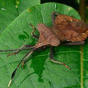 Coreidae sp. insect in Thailand's Khao Kiew-Khao Chompoo Wildlife Sanctuary area.