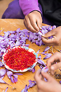 TALIOUINE, MOROCCO - October 27th 2015 - Farmers separate saffron stigmas from the flowers and petals at a saffron farm, Taliouine, Sirwa Mountain Range, Souss Massa Draa region of Southern Morocco