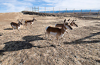 A group of pronghorn scurries across the wildlife overpass near Cora in mid-October. Dozens of pronghorn tennatively used the structures daily during their annual migration.