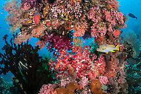 Ribbon Sweetlips and profusion of colorful Soft Corals<br /> <br /> Shot in Indonesia
