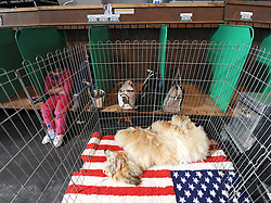 © Licensed to London News Pictures. 11/03/2012. An Afghan Hound stretches out and takes a nap during the final day of the 2012 Crufts final at the Birmingham NEC Arena.  With over 28,000 dogs taking part the tension is high as the competition draws towards the prestigious title of  Best in Show. Photo credit: Alison Baskerville/LNP