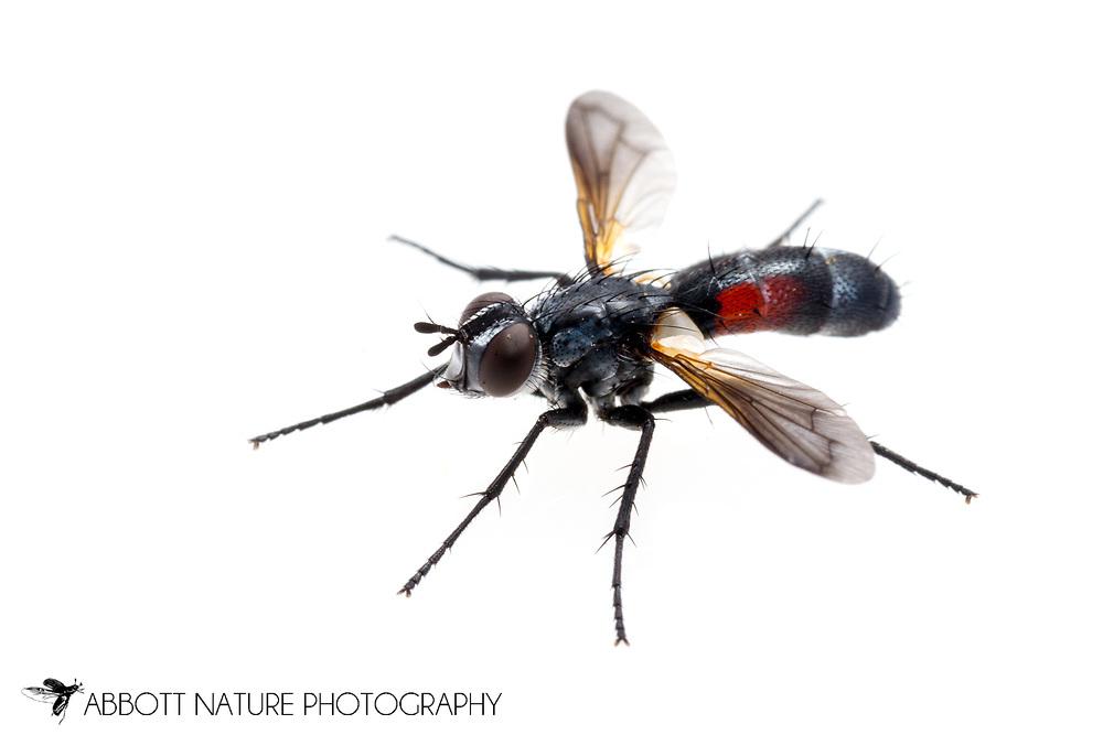 Parasitic Fly (Cylindromyia sp.)<br /> PENNSYLVANIA: Centre Co.<br /> Ten acre Pond on Scotia Range Rd.<br /> 26.June.2015<br /> J.C. Abbott #2755 &amp; K.K. Abbo