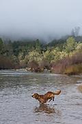 Dog (golden retriever) playing at the South Fork American River, El Dorado County, California