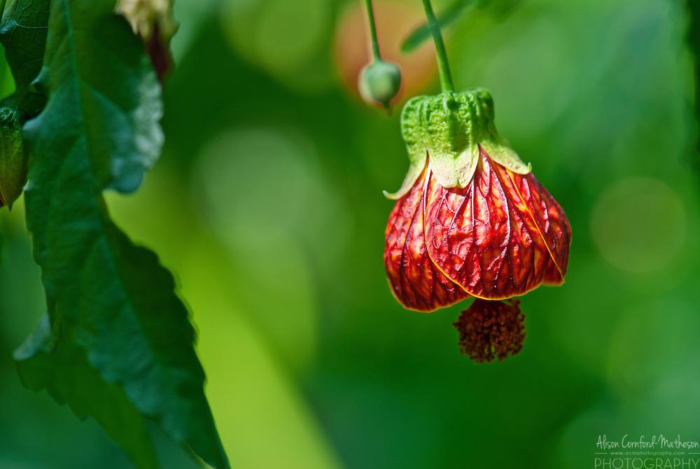 Abutilon Striatum or flowering maple in kew gardens