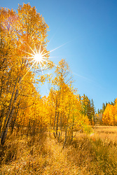 """Aspen at Fredrick's Meadow 8"" - Photograph of yellow aspen in the fall at Fredrick's Meadow, near Lake Tahoe and Fallen Leaf Lake."