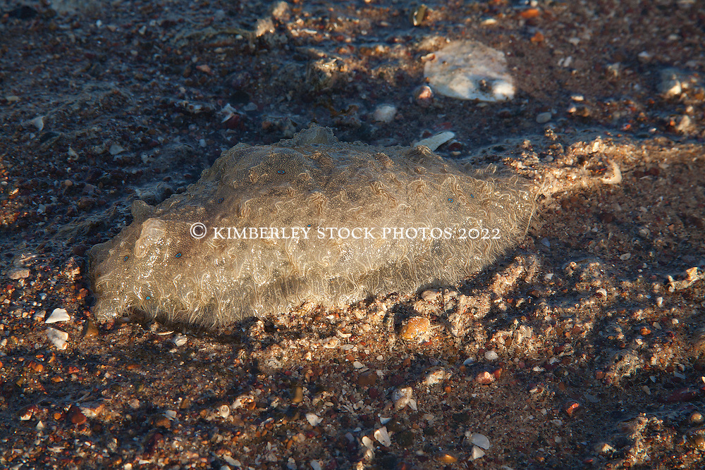 Bursatella leachii, a sea hare, on a gravelly sandbank in Deception Bay in Camden Sound.