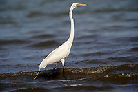 Great Egret (Ardea alba) foraging on edge of Lake Chapala, Ajijic, Jalisco, Mexico