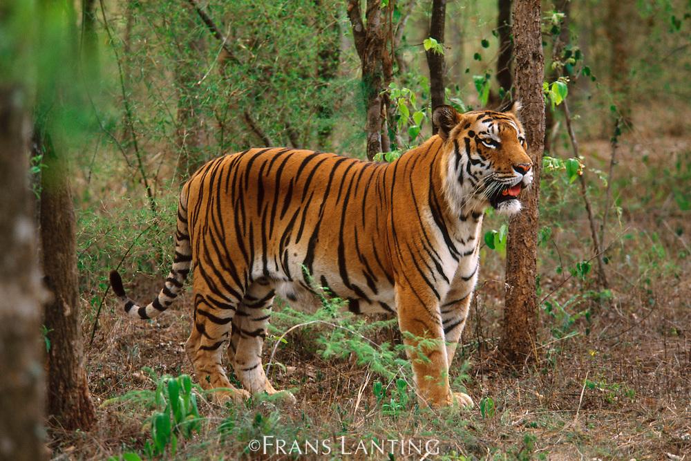 Bengal tiger in monsoon forest, Panthera tigris tigris, Western Ghats, India