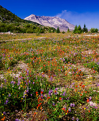 Mt. St. Helens and Wildflowers near Harmony, Mt. St. Helens National Volcanic Monument, Washington, US
