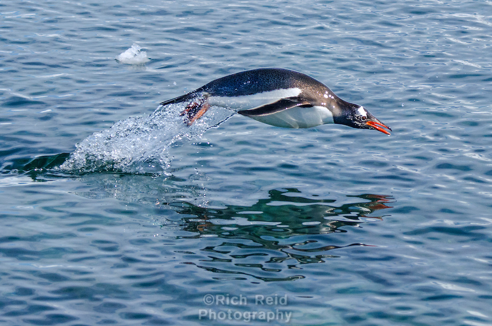 Gentoo penguin porpoising at Port Lockroy on Goudier Island off of Wiencke Island in Antarctica.