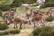 SPAIN, CASTILE and LEON Sierra de Gredos Mountains, southwest of Avila; Cabra Hispanica, wild mountain goats