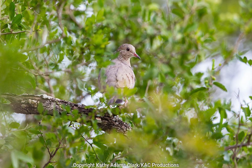 Common ground-dove, Columbina passerina, San Jose Ranch, near Laredo, Texas.