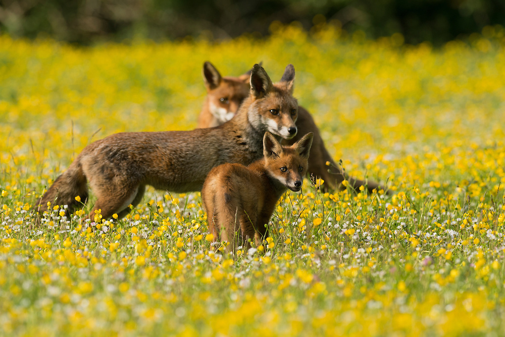 Red fox (Vulpes vulpes) Kent, UK. A Family of foxes living on a railway embankment on the edge of a village. Adult with 8 week old cub. May 2015