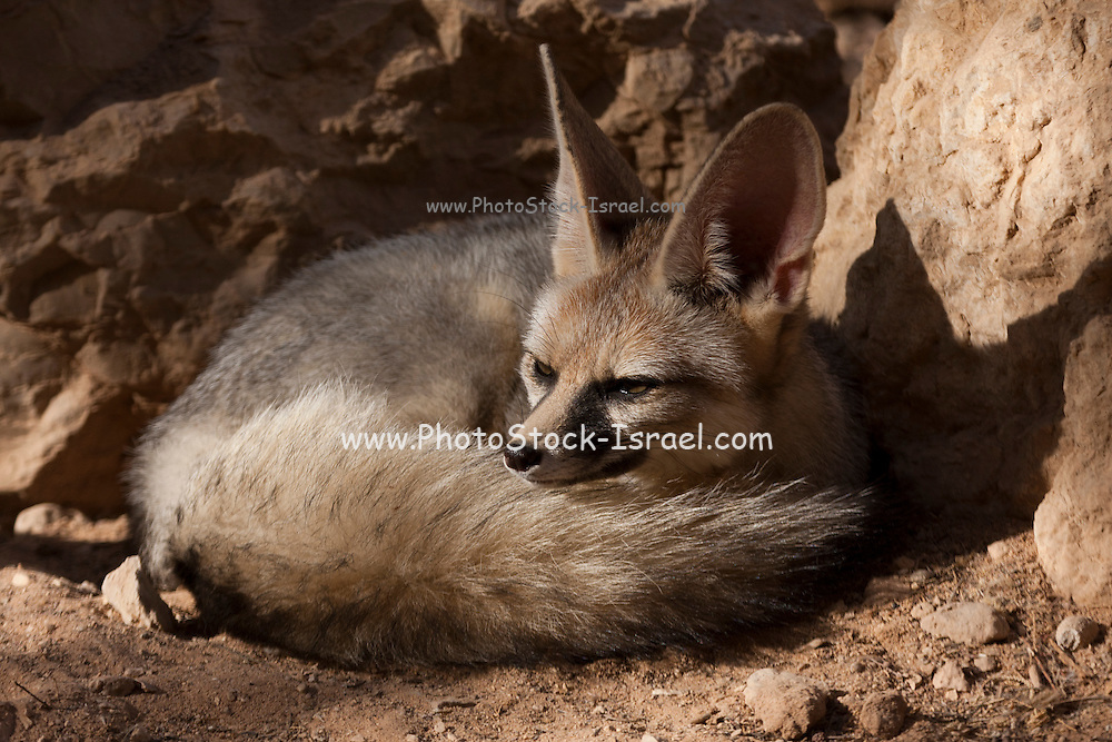 Israel, Negev Desert, Blanford's Fox (Vulpes cana)  a small fox found in certain regions of the Middle East.