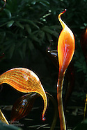 Glass sculptures by Chihuly mimic plant forms in Climatron at Missouri Botanical Garden; St. Louis, Missouri.