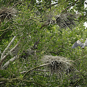 A great blue heron sat next to one of a dozen nests in a sycamore tree at its nesting site, also known as a rookery, along the Kentucky river palisades near Shaker Village at Pleasant Hill, Ky., on Friday, May 13, 2011. Shaker Village is offering two wildlife cruises to the blue heron rookery aboard their Dixie Belle paddleboat this spring.