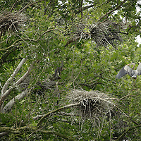 Blue Heron Rookery on the Kentucky River