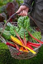 Harvested mixed chard in a wire basket. Beta vulgaris