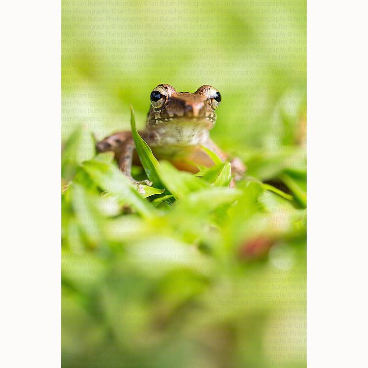 Common Mexican Tree frog (Smilisca baudinii) on grass near Boca Tapada, Costa Rica, January, 2014.