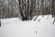 Woodland winter landscape trees in snow, Suffolk, England