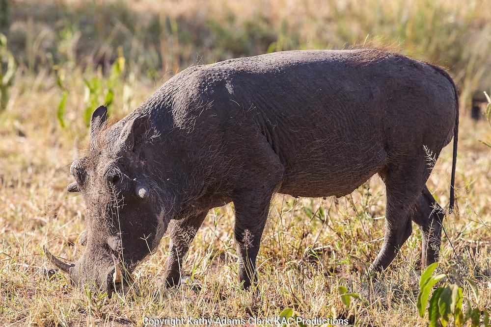 Warthog, Phacochoerus africanus, Serengeti, Tanzania, Africa.