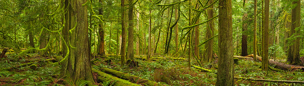Cathedral Grove is a stand of old growth Douglas Fir trees. The forest is magnificently mossed and has a green tranquility that is amazing to experience. There are some very big, old growth trees, but yet again, one image cannot capture the beauty of the scene. I set up and created a 6 shot panoramic of the forest scene. The large specimen in the foreground was incredibly tall and anchored the whole scene. It was a misty day and the sun was not breaking through the mist yet, but the forest seemed to glow with an ethereal beauty. This is one of my favourite places on Vancouver Island.