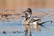 Northern Pintail, Anas acuta,  male, McPherson County, South Dakota
