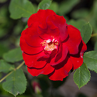 The large red flower of 'Hope for Humanity' shrub rose (Rosa 'Hope for Humanity')