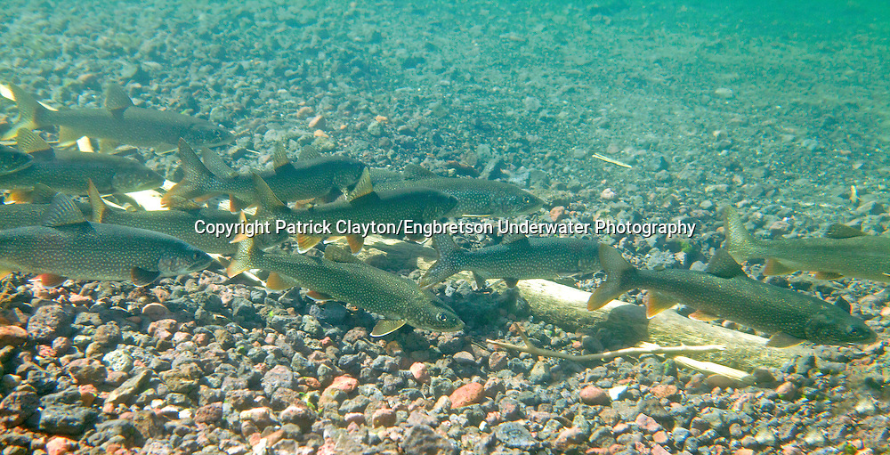 Lake Trout<br /> <br /> Patrick Clayton/Engbretson Underwater Photography