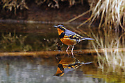 Varied thrush in a marsh in early spring. Yaak Valley in the Kootenai National Forest, Purcell Mountains, northwest Montana