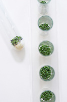 Cress seedlings growing in petri dishes view from above