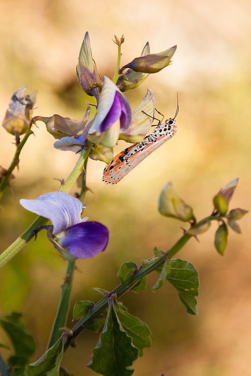 This Ornate Moth (Utetheisa ornatrix) gets some sustenance from a wild sweet pea at Little Lameshur Bay, St. John, USVI.