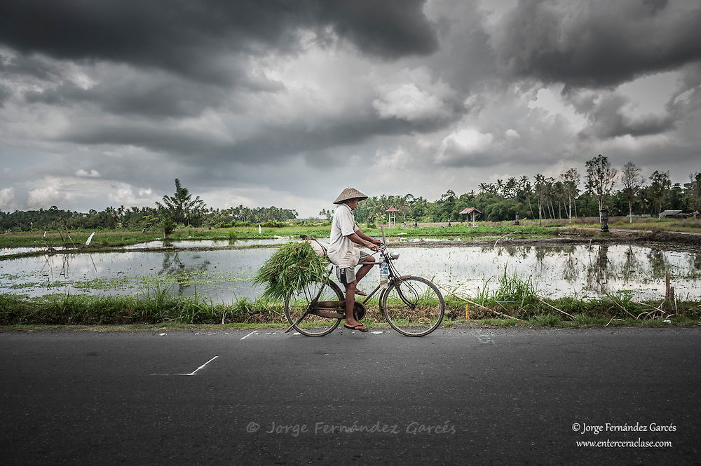 Man riding a bicycle through the rice fields of Bali, Indonesia, Asia.