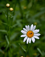 Raindrops and a bug on a daisy wildflower. Backyard spring nature in New Jersey. Image taken with a Leica T camera and 55-135 mm lens (ISO 100, 135 mm, f/5, 1/160 sec)