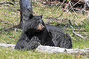 Large boar Black bear in habitat