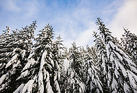 Looking up at snow covered Winter trees in the Cascade mountains of Washington State, USA