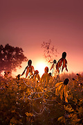 The sun peeks above the horizon in the early morning and puts a glow on a field of wild coneflowers covered in dewy spiderwebs.